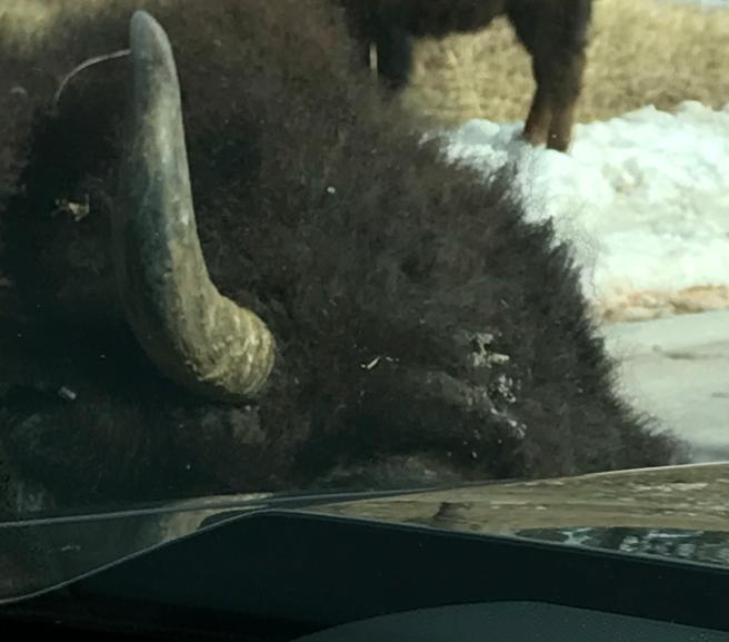 Bull Bison licking car