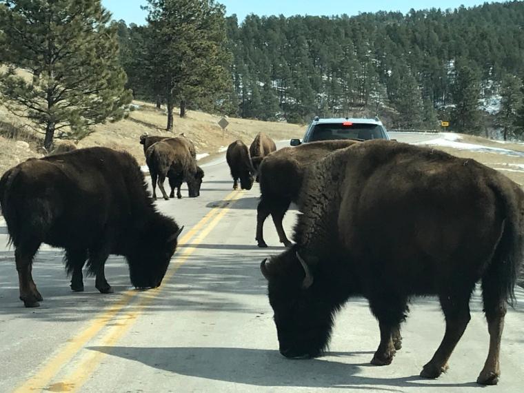 Bison licking highway